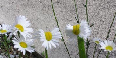 Florile mutante de la Fukushima: margarete cu doua