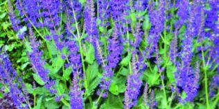 Salvia, tonic excelent pentru varstnici. Cat trebuie sa consume pentru a preveni bolile care grabesc imbatranirea
