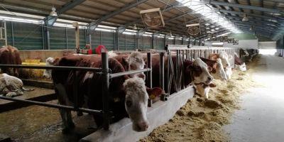 Cum ajung vitele crescute in Romania pe mesele turcilor si arabilor, in timp ce romanii importa carnea.