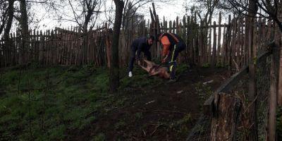 VIDEO Spaima printre localnicii din Colti, dupa ce un urs a intrat intr-o gospodarie si a mancat un porc de 150 de kilograme