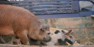 Alerta de pesta porcina africana in Tulcea. Primele masuri pentru stoparea raspandirii virusului