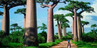 Cei mai vechi baobabi din Africa mor din cauza schimbarilor climatice, arata un studiu la care au lucrat si romani